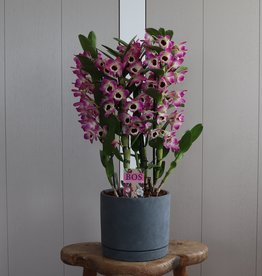 Arrangement Dendrobium Nobilé | bi-colour