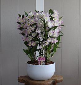 Arrangement Dendrobium Nobilé | roze