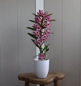 Dendrobium Nobilé 1-tak | bi-colour