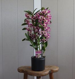 Dendrobium Nobilé 2-tak | bi-colour