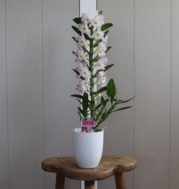 Dendrobium Nobilé 1-tak | roze