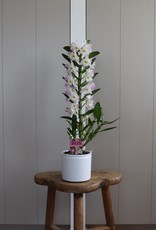 Dendrobium Nobilé | Kumiko 1-tak