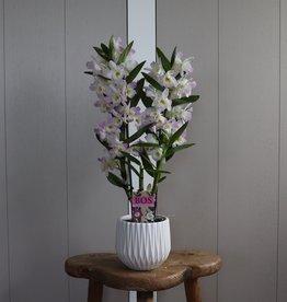 Dendrobium Nobilé 2-tak | roze