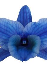 Dendrobium Nobilé | blauw (inject) 2-tak
