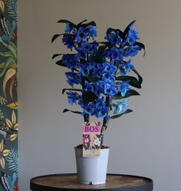 Dendrobium Nobilé 2-tak | blauw (inject)