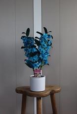 Dendrobium Nobilé   oceaan blauw (inject) 2-tak