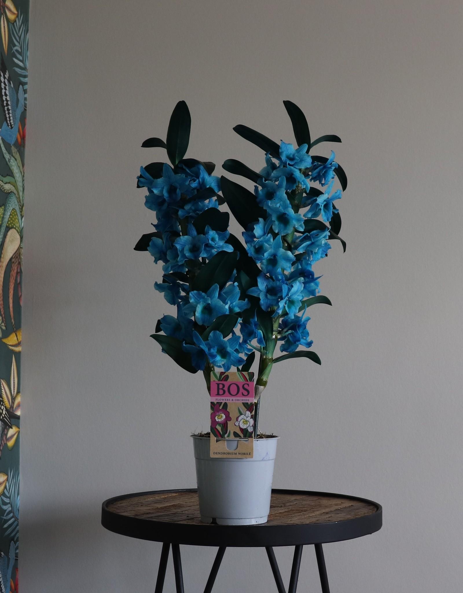 Dendrobium Nobilé | oceaan blauw (inject) 2-tak