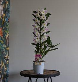 Dendrobium Nobilé 1-tak   roze