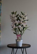 Dendrobium Nobilé   Kumiko 2-tak