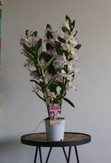 Dendrobium Nobilé | Kumiko 3-tak