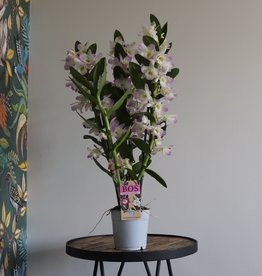Dendrobium Nobilé 3-tak | roze