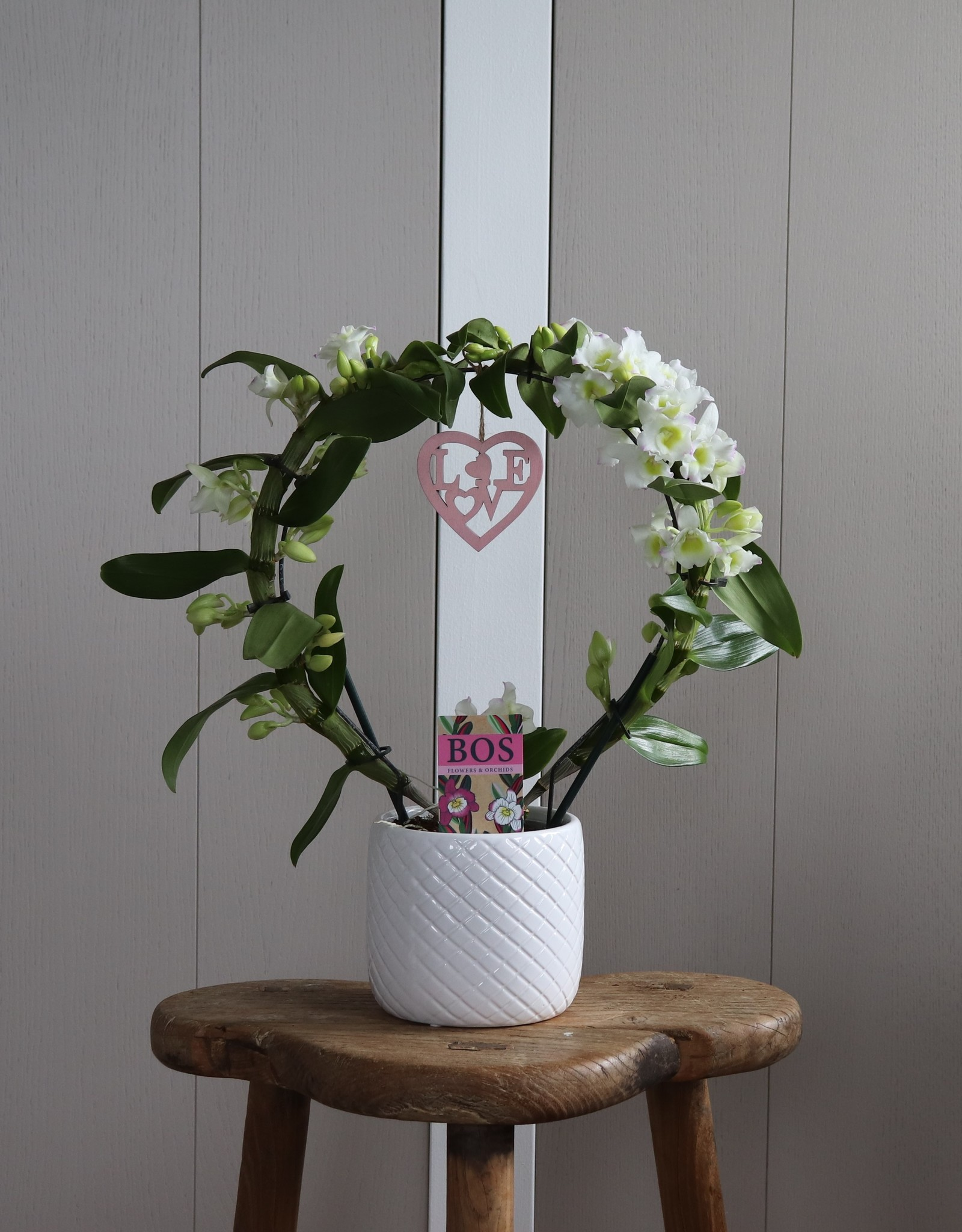 Dendrobium Nobilé Boog   Apollon   HEART
