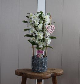 Dendrobium Nobilé 2-tak | HEART | wit