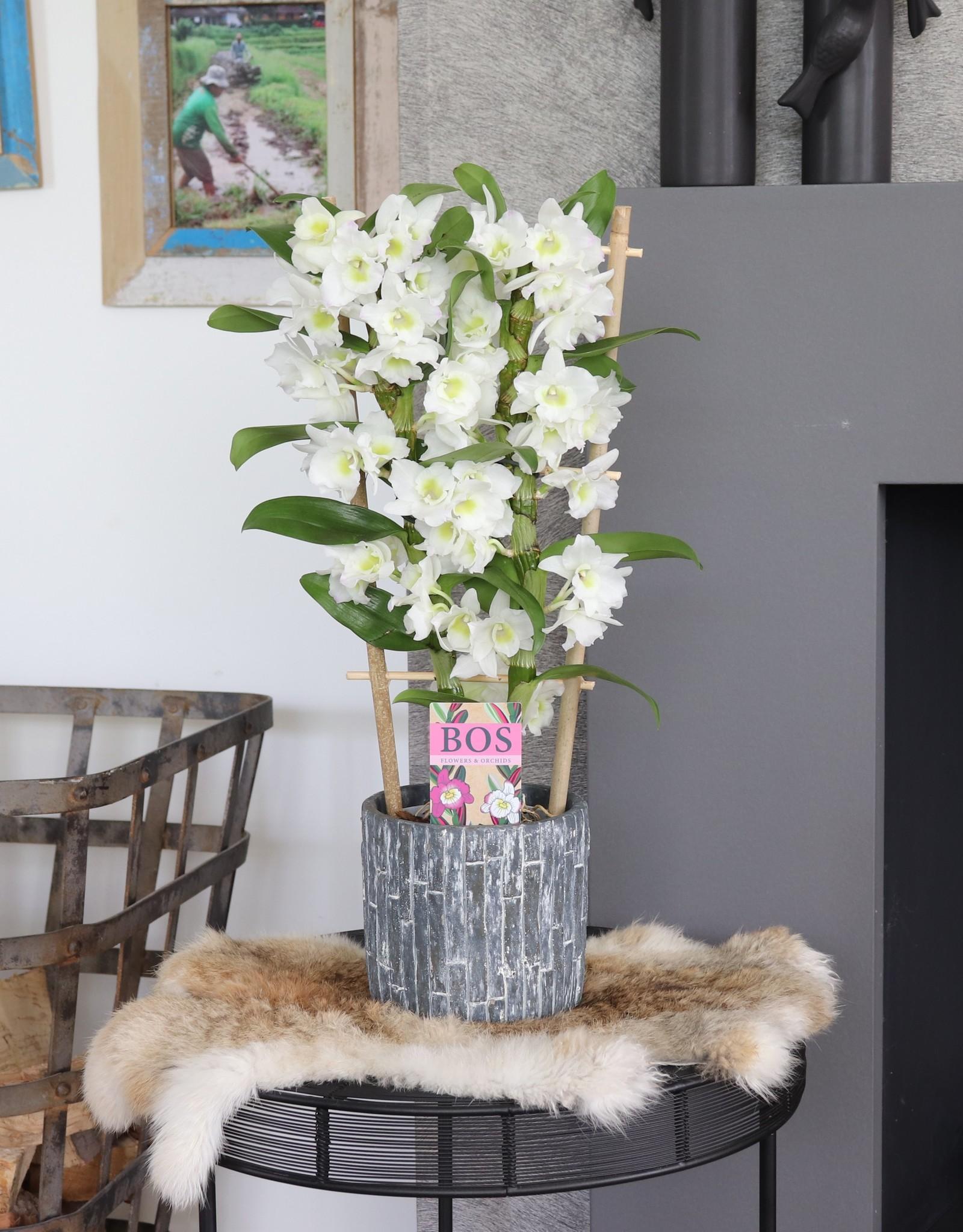 Dendrobium Nobilé met hekje | Apollon 2-tak