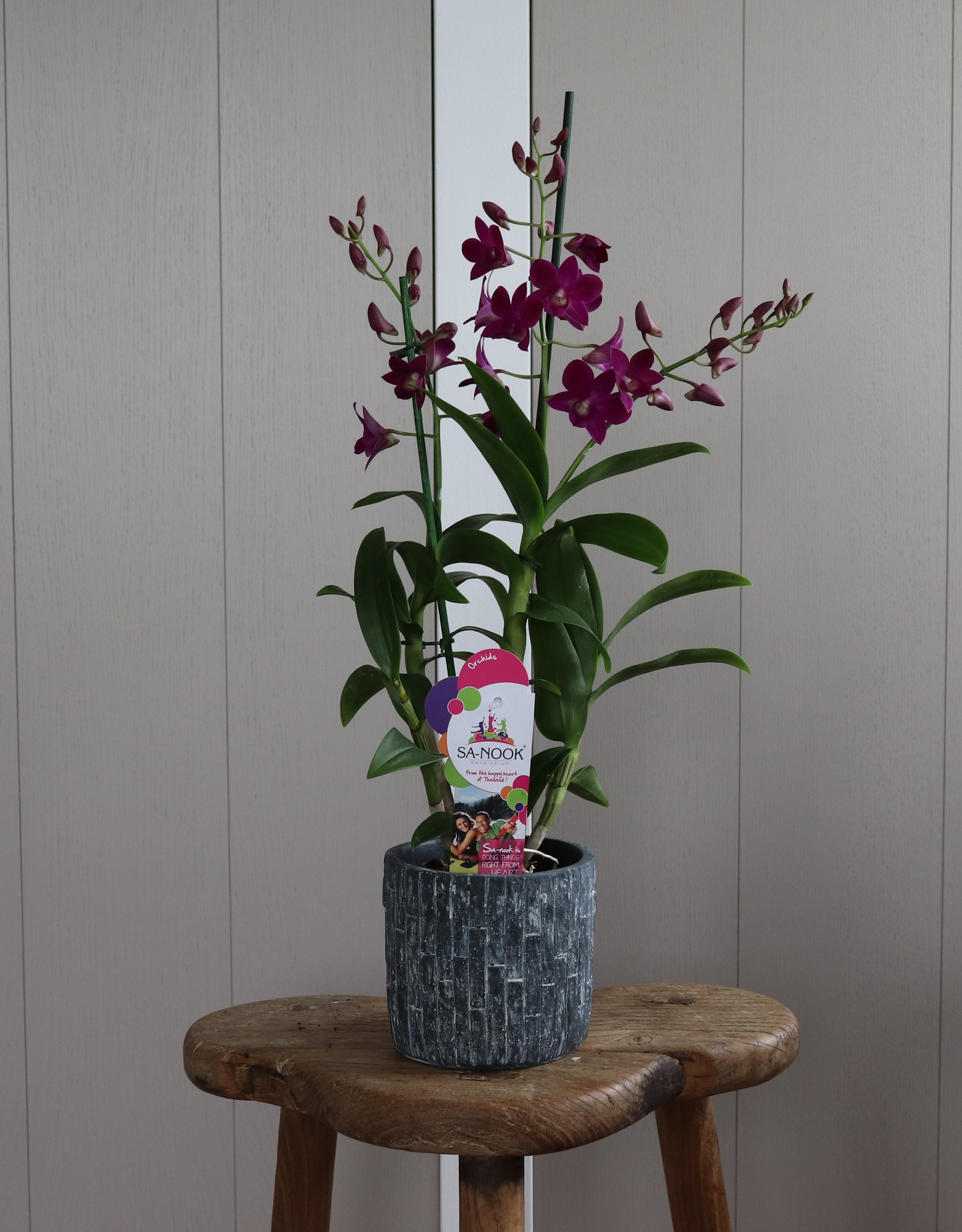 Dendrobium Sanook | Pink Party 2-tak