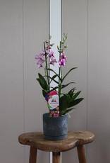 Dendrobium Sanook | Polar Fire 2-tak