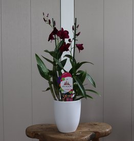 Dendrobium Sanook 2-tak   paars