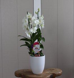 Dendrobium Sanook 2-tak   wit