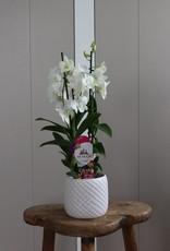 Dendrobium Sanook   Coconut Dream 2-tak