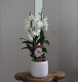 Dendrobium Sanook 2-tak | wit