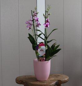 Dendrobium Sanook 2-tak | roze