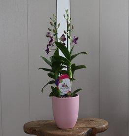 Dendrobium Sanook 2-tak | paars