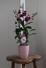 Dendrobium Sanook | Pink Party 2-tak