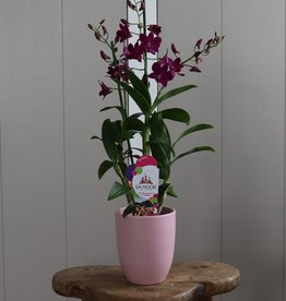 Dendrobium Sanook 2-tak   roze
