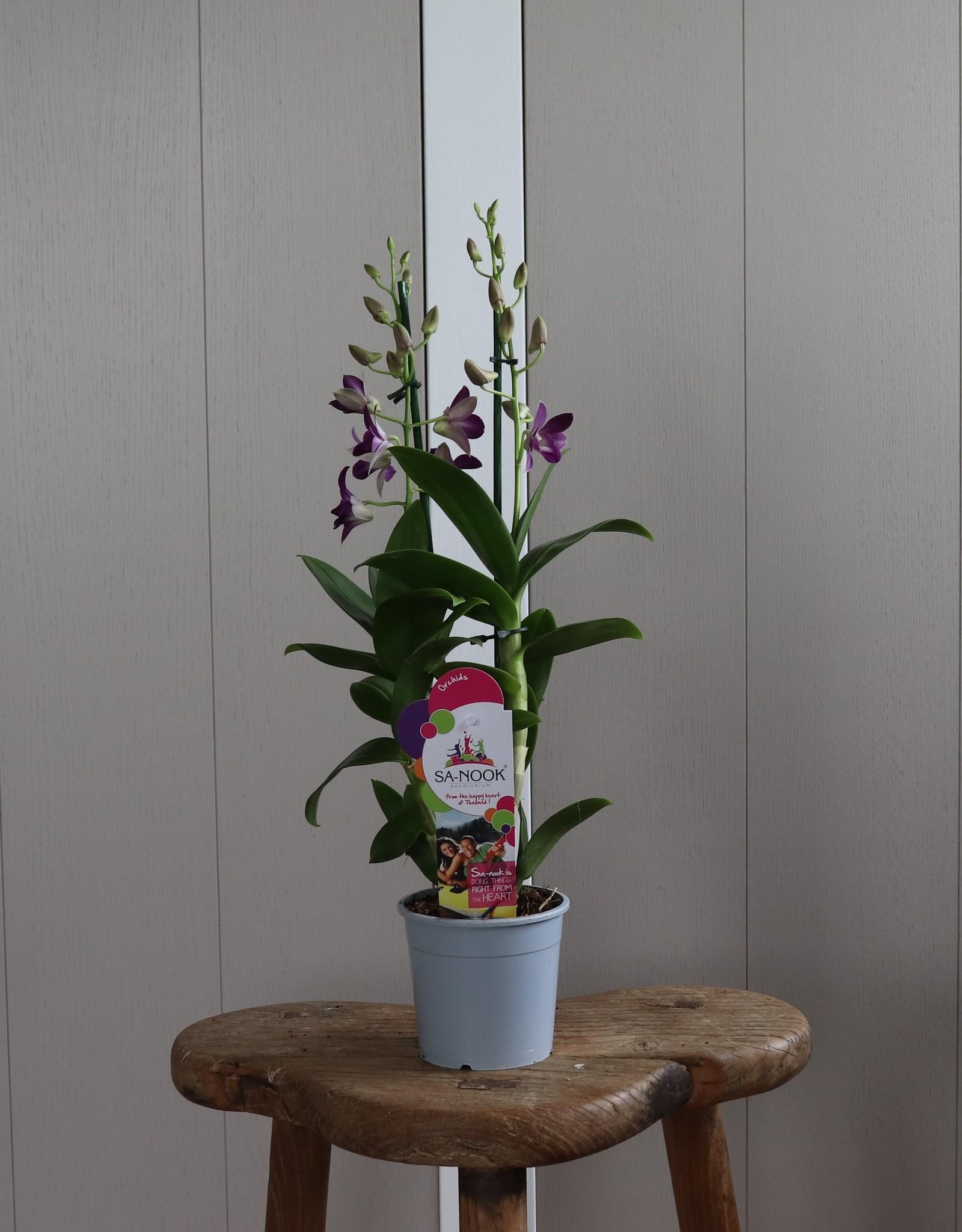 Dendrobium Sanook   Blue Happiness 2-tak
