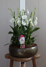 Arrangement Dendrobium Sanook | Coconut Dream