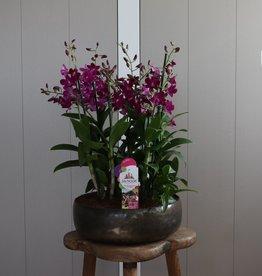 Arrangement Dendrobium Sanook | roze