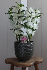 Arrangement Dendrobium Nobilé | Apollon