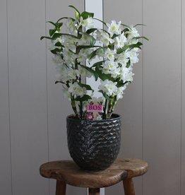 Arrangement Dendrobium Nobilé | wit