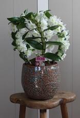Arrangement Dendrobium Nobilé Dubbele Boog   Apollon