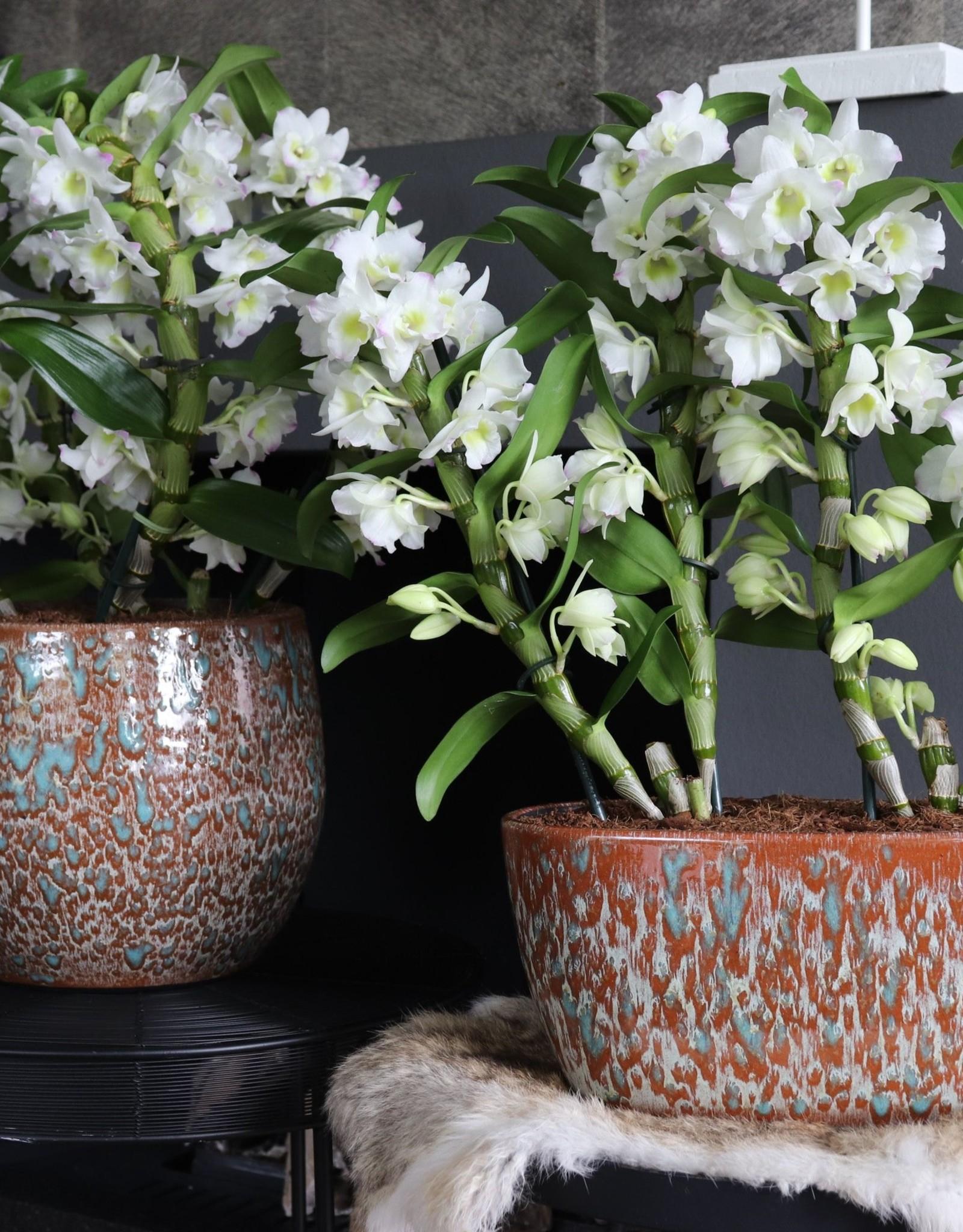 Set Dendrobium Nobilé | Apollon