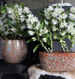Set Dendrobium Nobilé | wit
