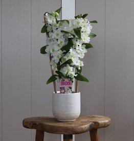 Dendrobium Nobilé 2-tak met hekje | wit