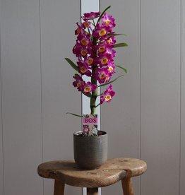 Dendrobium Nobilé 1-tak | paars