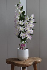 Dendrobium Nobilé | Kumiko 2-tak