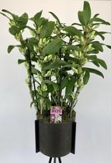 Arrangement Dendrobium Nobilé   Apollon
