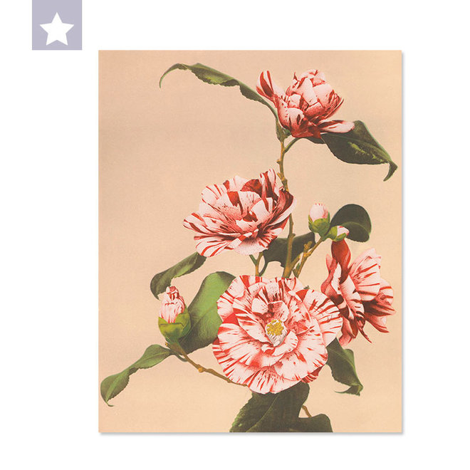 Gestreepte Camellia 25 x 31,5cm