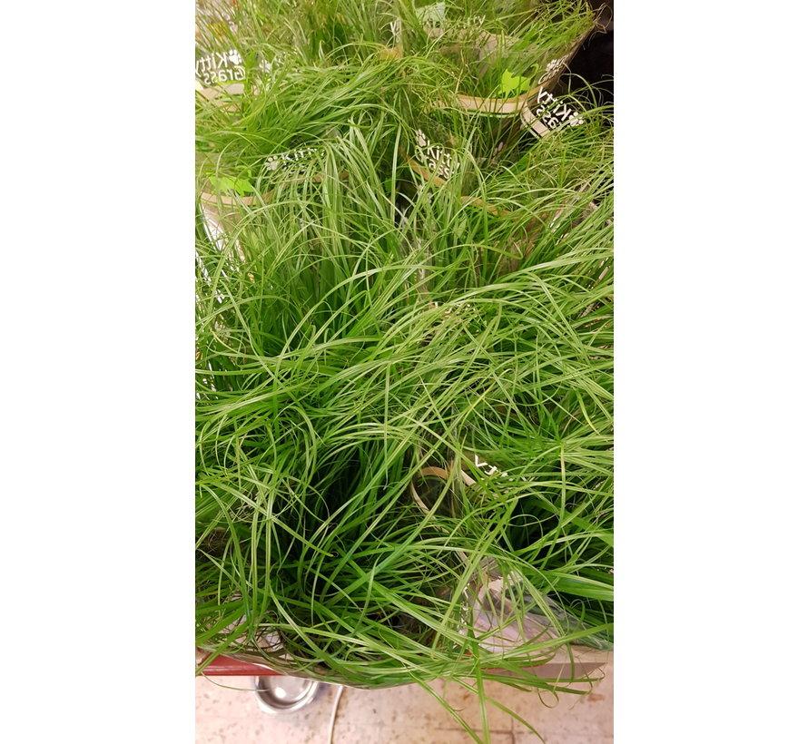 katten gras