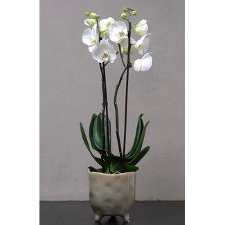Daniel Ost Small Orchid in Pot
