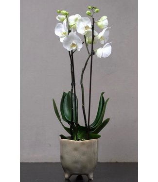 Small Orchid in Pot