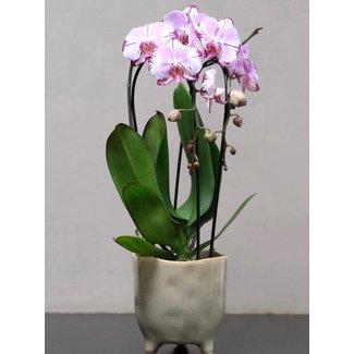 Daniel Ost Medium Orchid in Pot