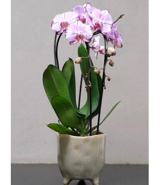 Medium Orchid in Pot