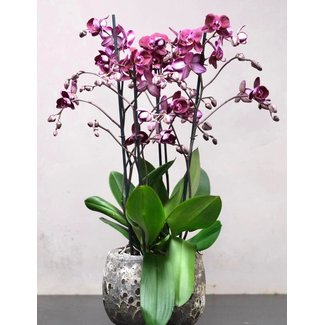 Daniel Ost Large Orchid in Pot