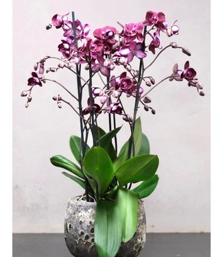 Large Orchid in Pot