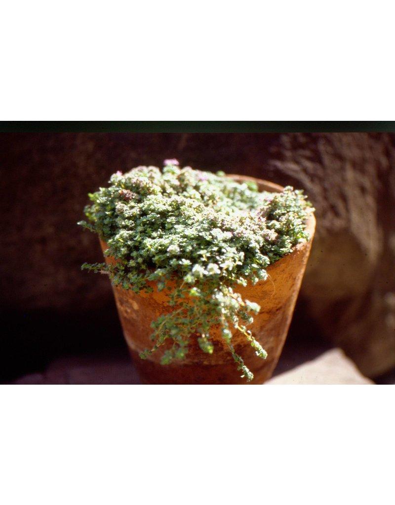 Teppich Thymian 'Praecox' (Thymus praecox ssp. praecox)
