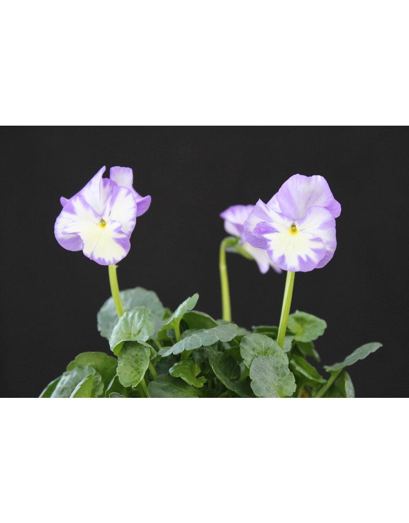 Duftveilchen 'Rebecca' (Viola pubescens 'Rebecca')